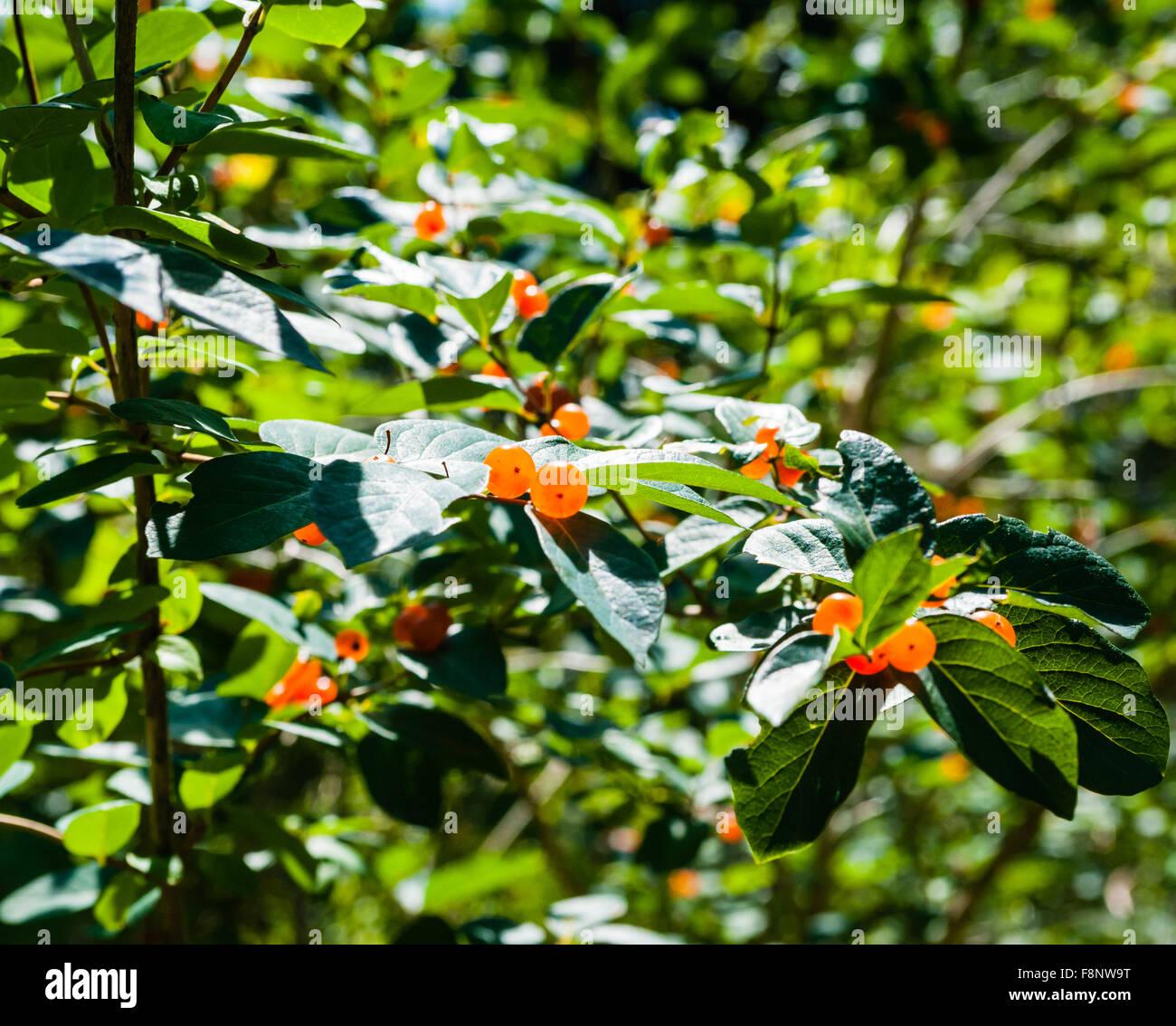 Bacche di colore arancione che assomigliano a attraversato gli occhi sui rami contro il lussureggiante fogliame Immagini Stock