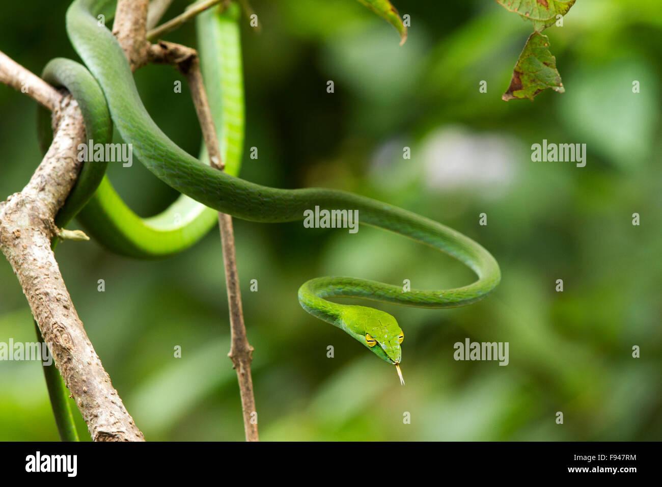Il Vitigno comune Snake (Ahaetulla nasuta), è una sottile albero verde serpente trovato in India Foto Stock