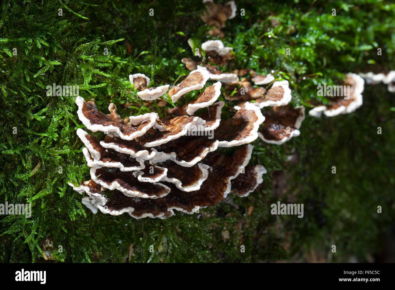 La Turchia di coda, Turkeytail, Schmetterlings-Tramete, Schmetterlingstramete, Tramete Bunte, Trametes versicolor, Immagini Stock