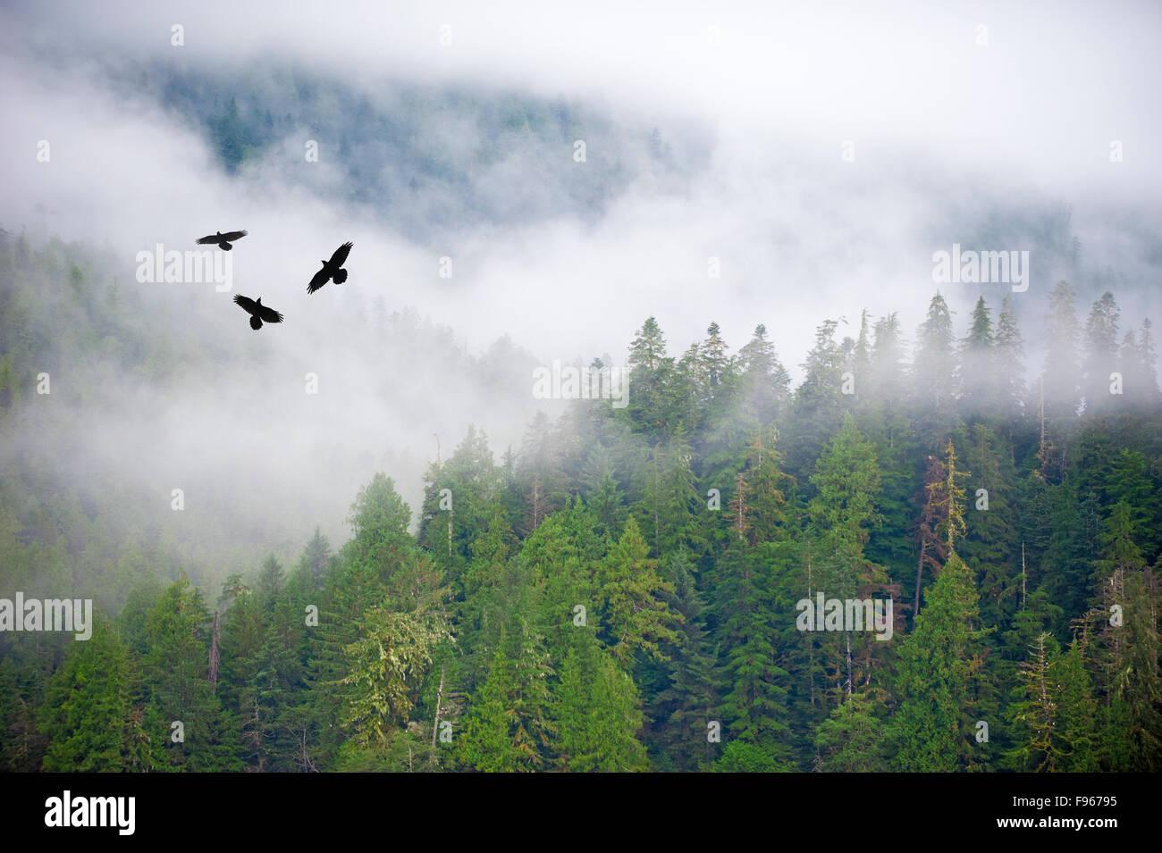 Un trio di corvo imperiale (Corvus corax) volare al di sopra del grande orso nella foresta pluviale, westcentral Immagini Stock