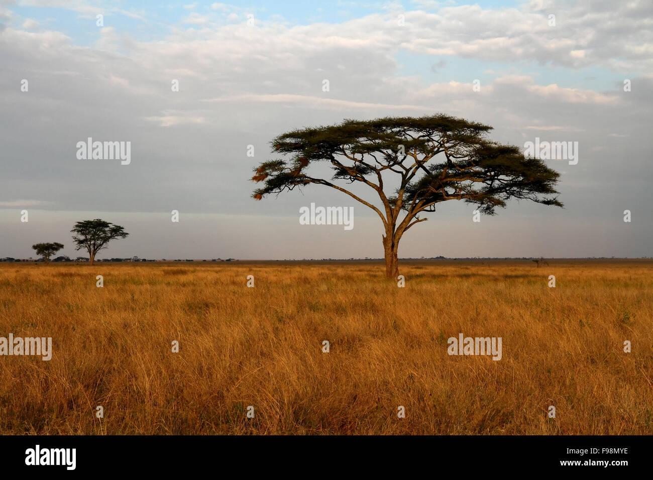 Gli alberi di acacia sfalsate attraverso praterie africane savannah Immagini Stock