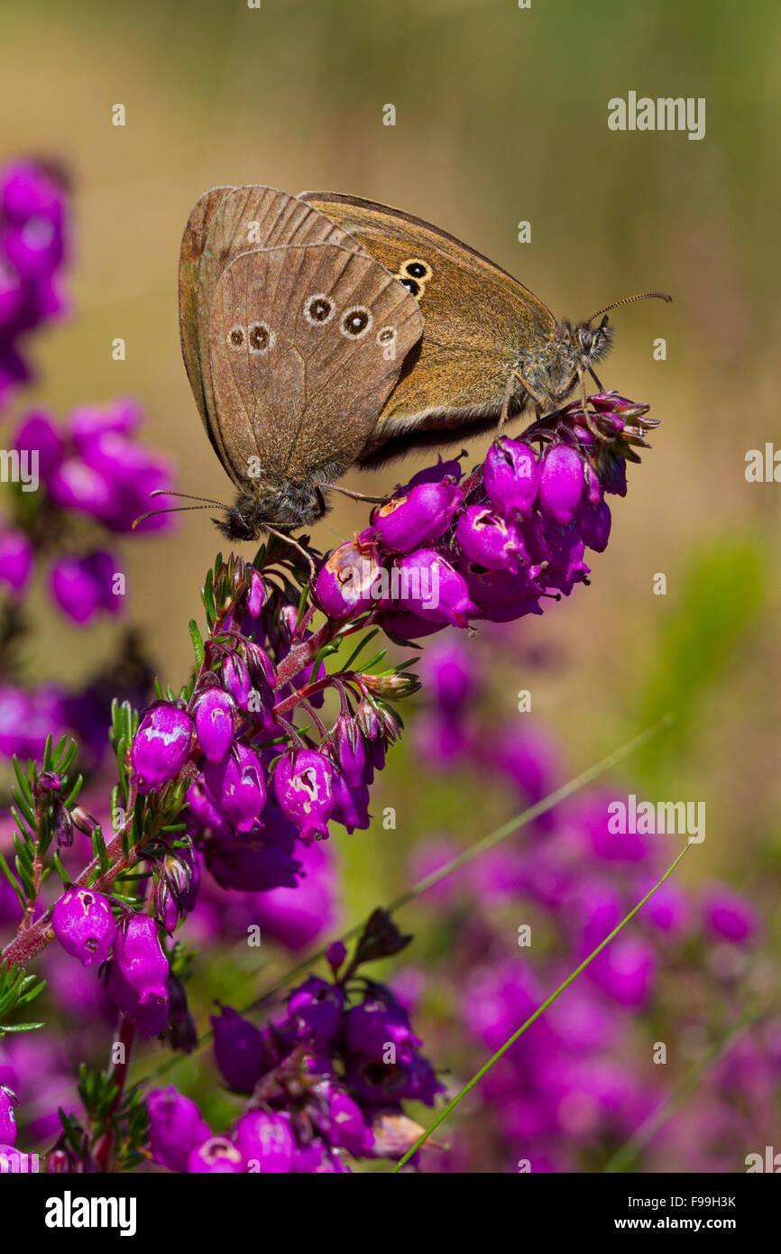 Anello (Aphantopus hyperantus) adulto farfalle coniugata sulla campana di fioritura erica (Erica cineria). Powys, Immagini Stock