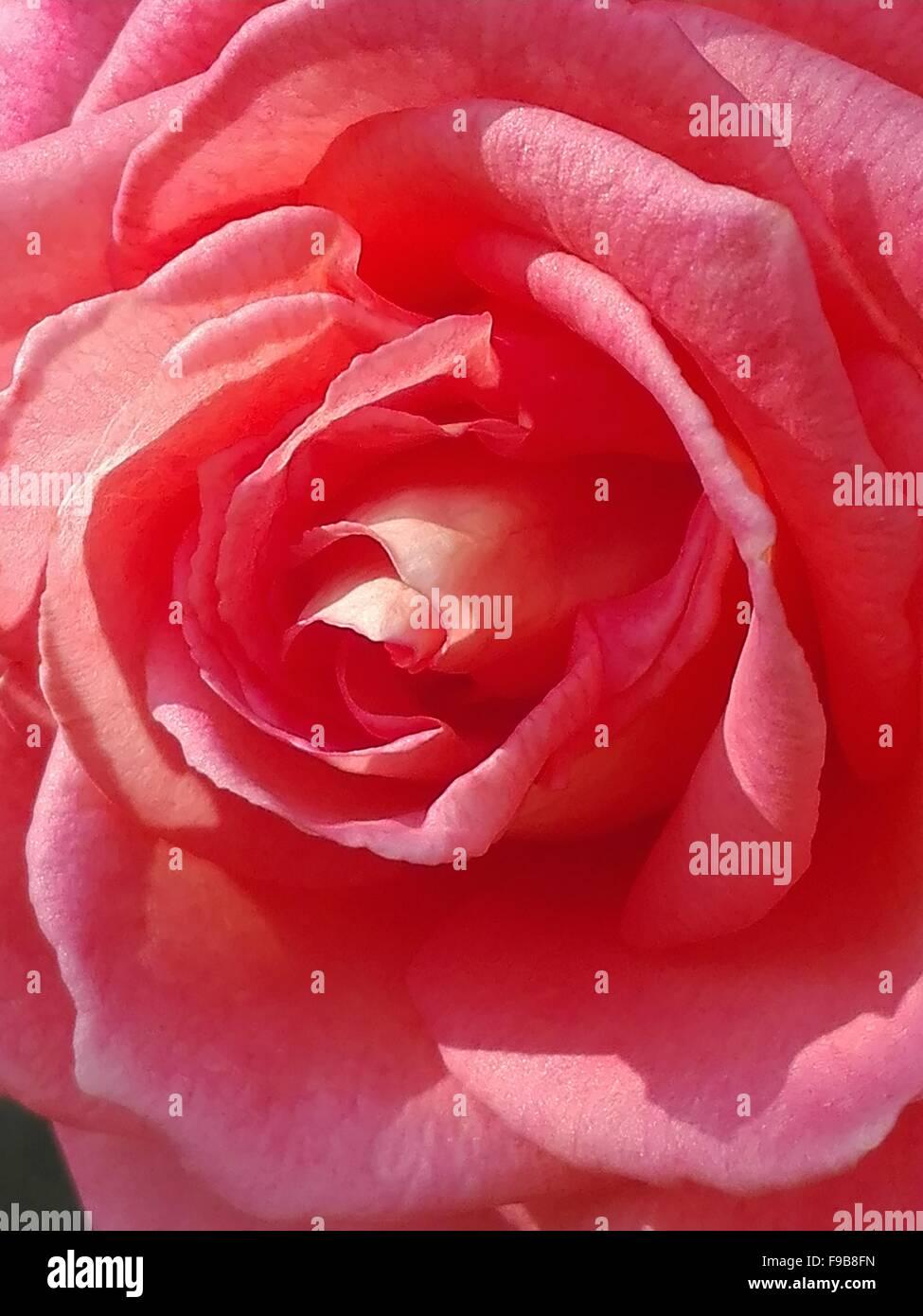 Rosa Rosso Sfondo Fiore Oggetto Bud Closeup Foto Amore
