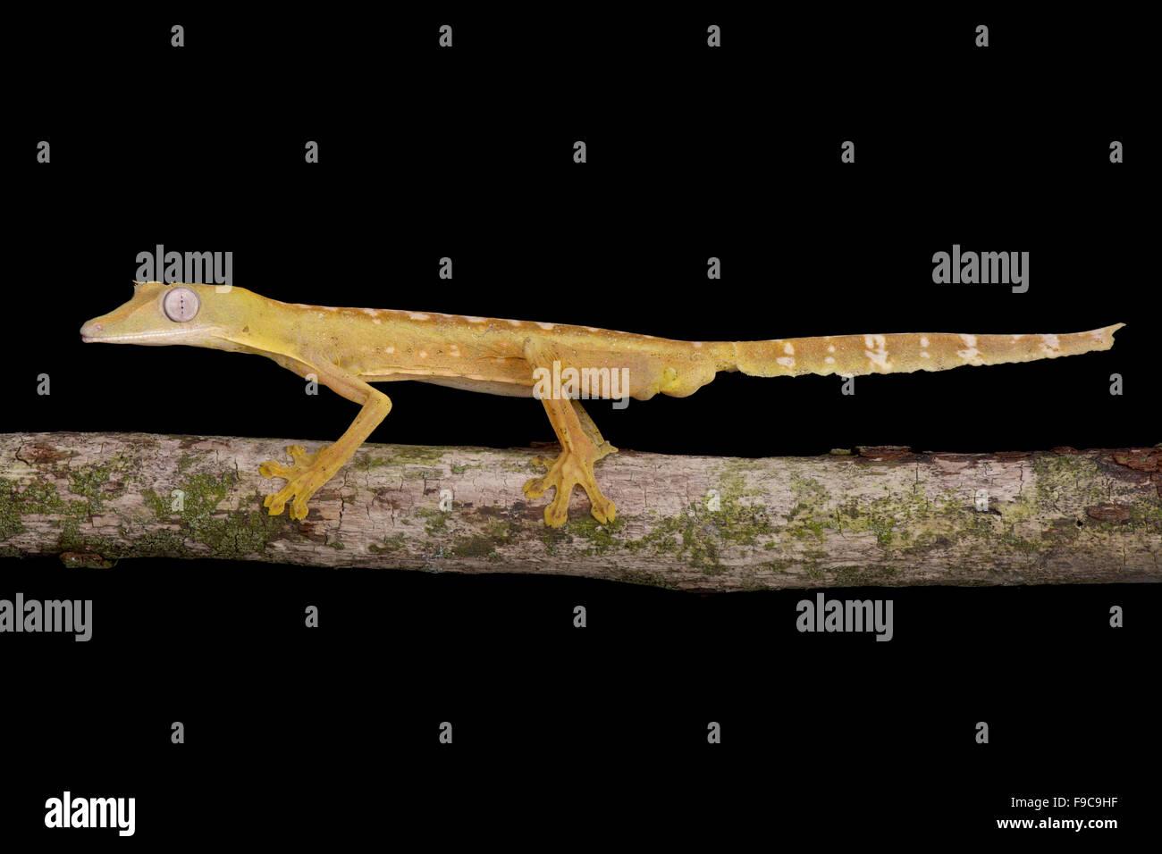 Piatto rigato-tail Gecko (Uroplatus lineatus) Immagini Stock