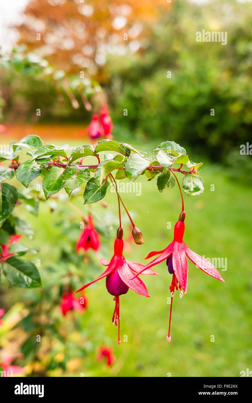Fuchshia 'Mrs Popple' in fiore nel mese di novembre in un confine di fiori Immagini Stock