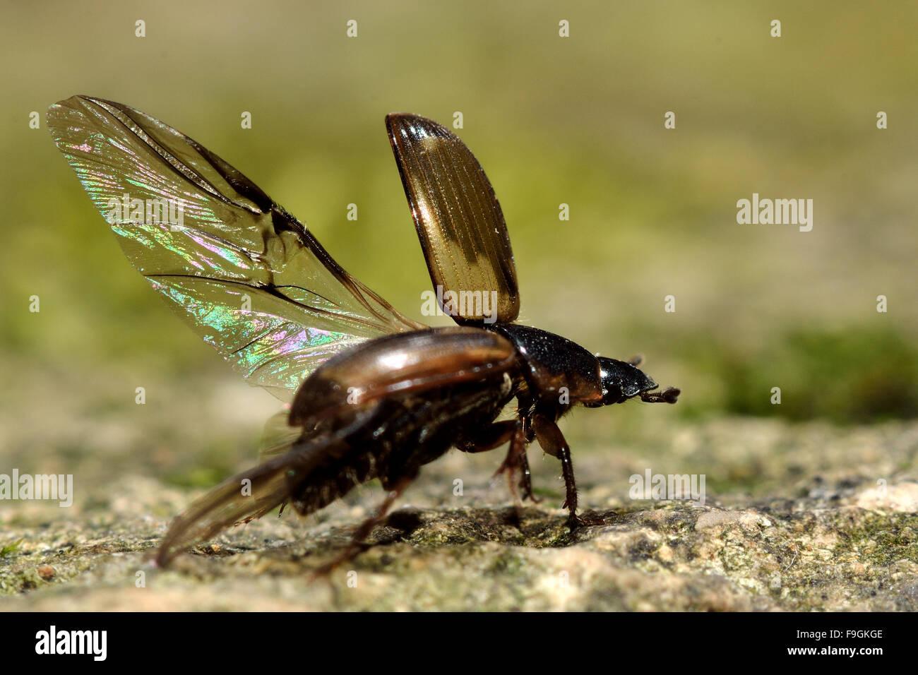Aphodius prodromus prendere il volo. Un coleottero di letame in famiglia Scarabaeidae circa a prendere il volo, Immagini Stock