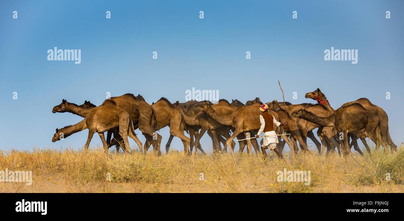 Cammelli sul modo di Pushkar Mela, Pushkar Camel Fair, Rajasthan, India Immagini Stock
