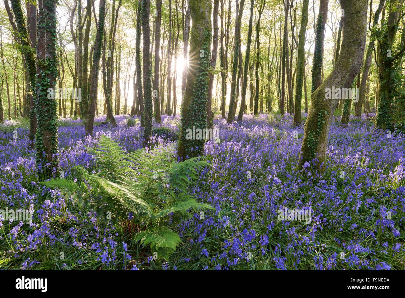 La luce del sole splende tra gli alberi e illuminazione delle Bluebells sul pavimento del bosco. Immagini Stock