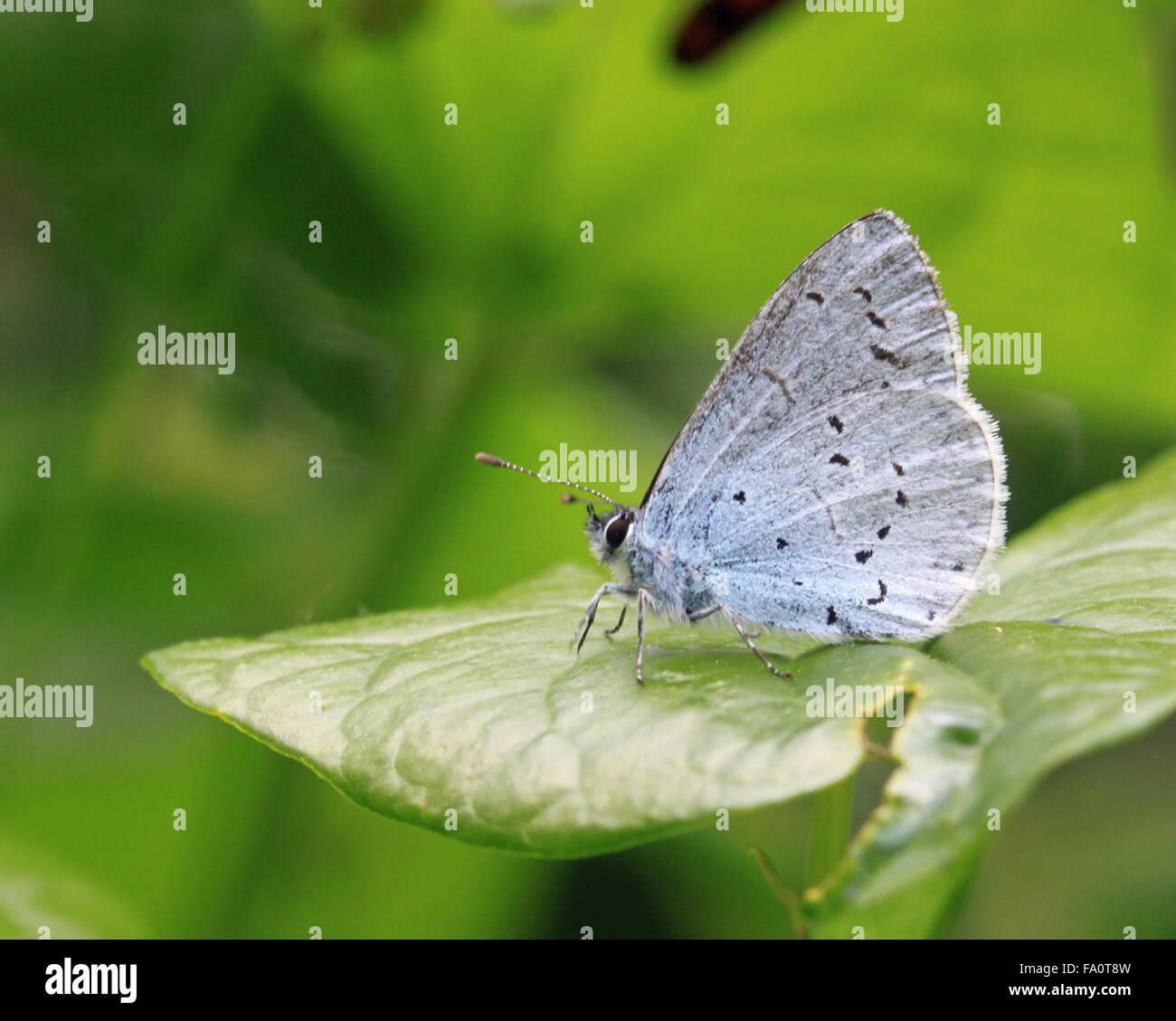 Holly blue butterfly Celastrina argiolus lato inferiore Immagini Stock