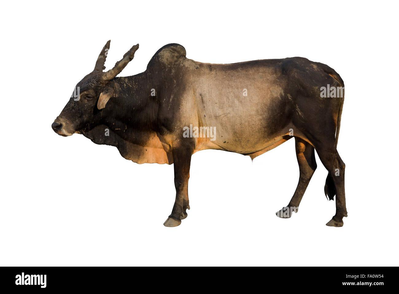 Haryana mucca isolato su bianco Immagini Stock