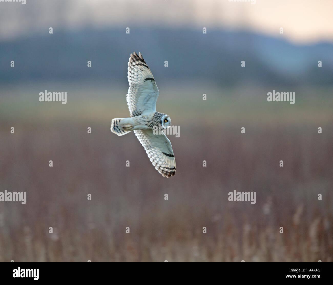 Corto-eared Owl, asio flammeus, Immagini Stock