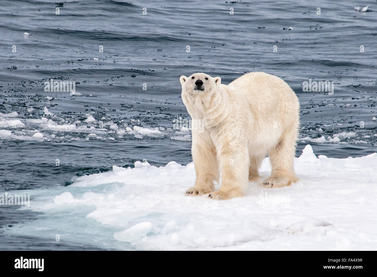 Solitario orso polare, Ursus Maritimus, in piedi su un pezzo di ghiaccio del mare artico, arcipelago delle Svalbard, Norvegia Foto Stock