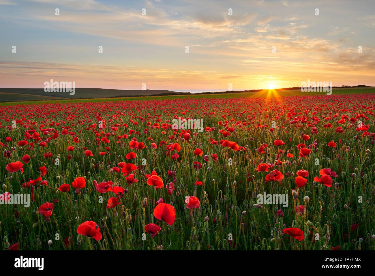 Campo di papavero in piena fioritura, Cornwall Foto Stock