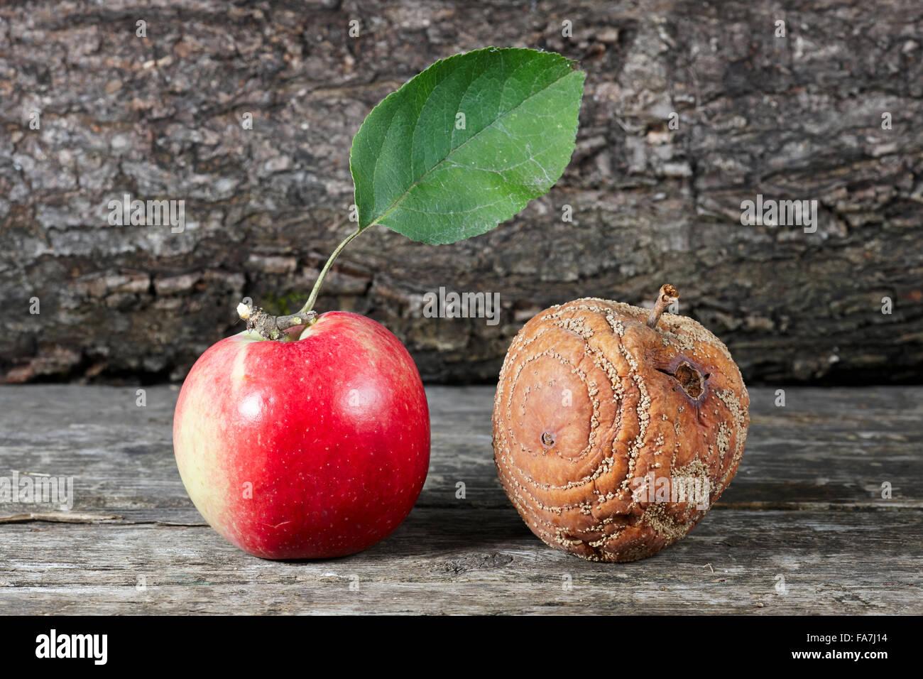 Marcio e una fresca apple ha messo insieme. Nome scientifico: Malus domestica. Immagini Stock
