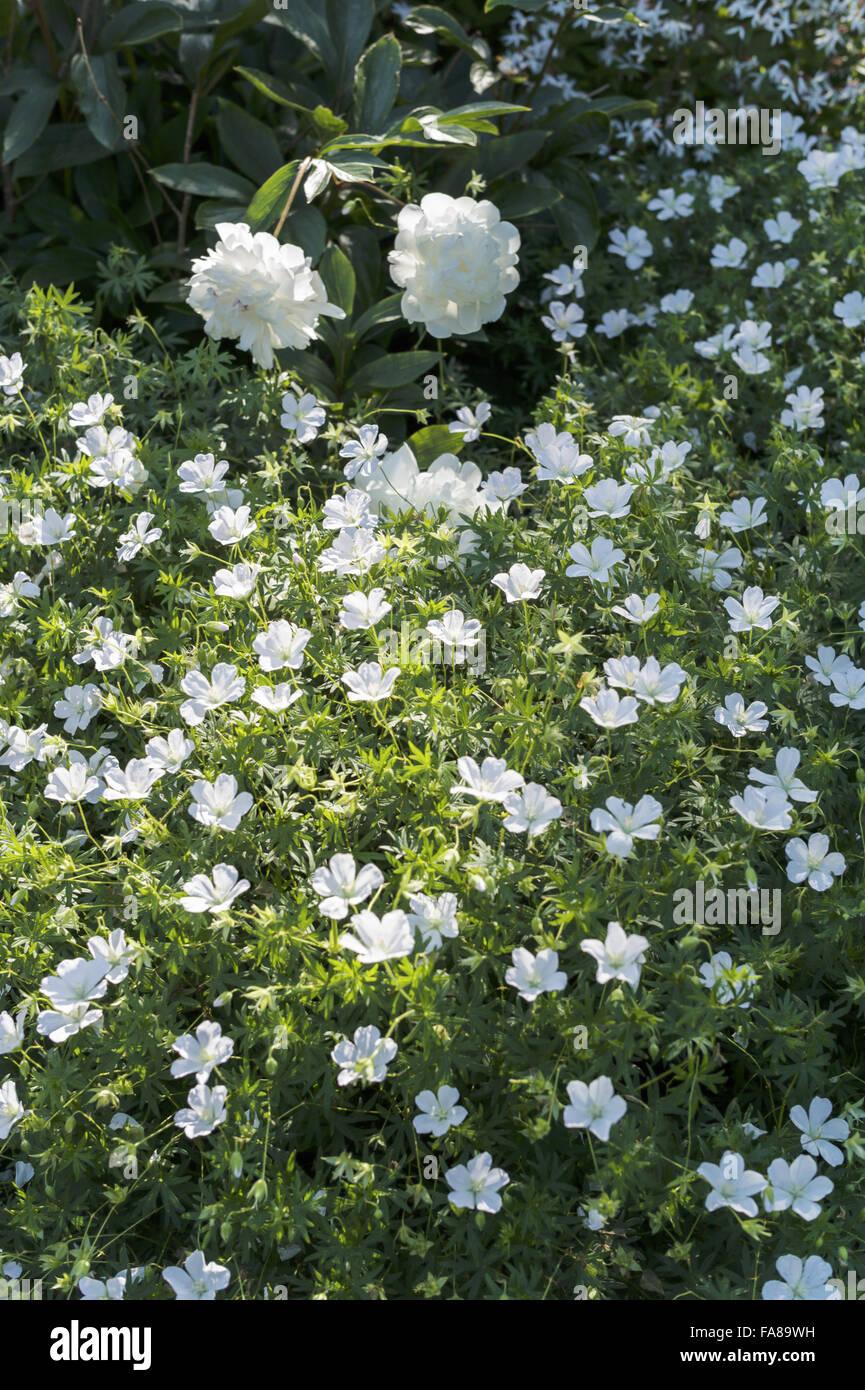 Fiori Bianchi Giardino.Fiori Bianchi Crescente Nei Giardini Di Luglio Presso Il Castello