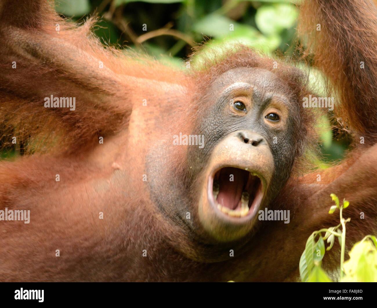Orangutan in Sepilok Orangutan centro di riabilitazione Immagini Stock