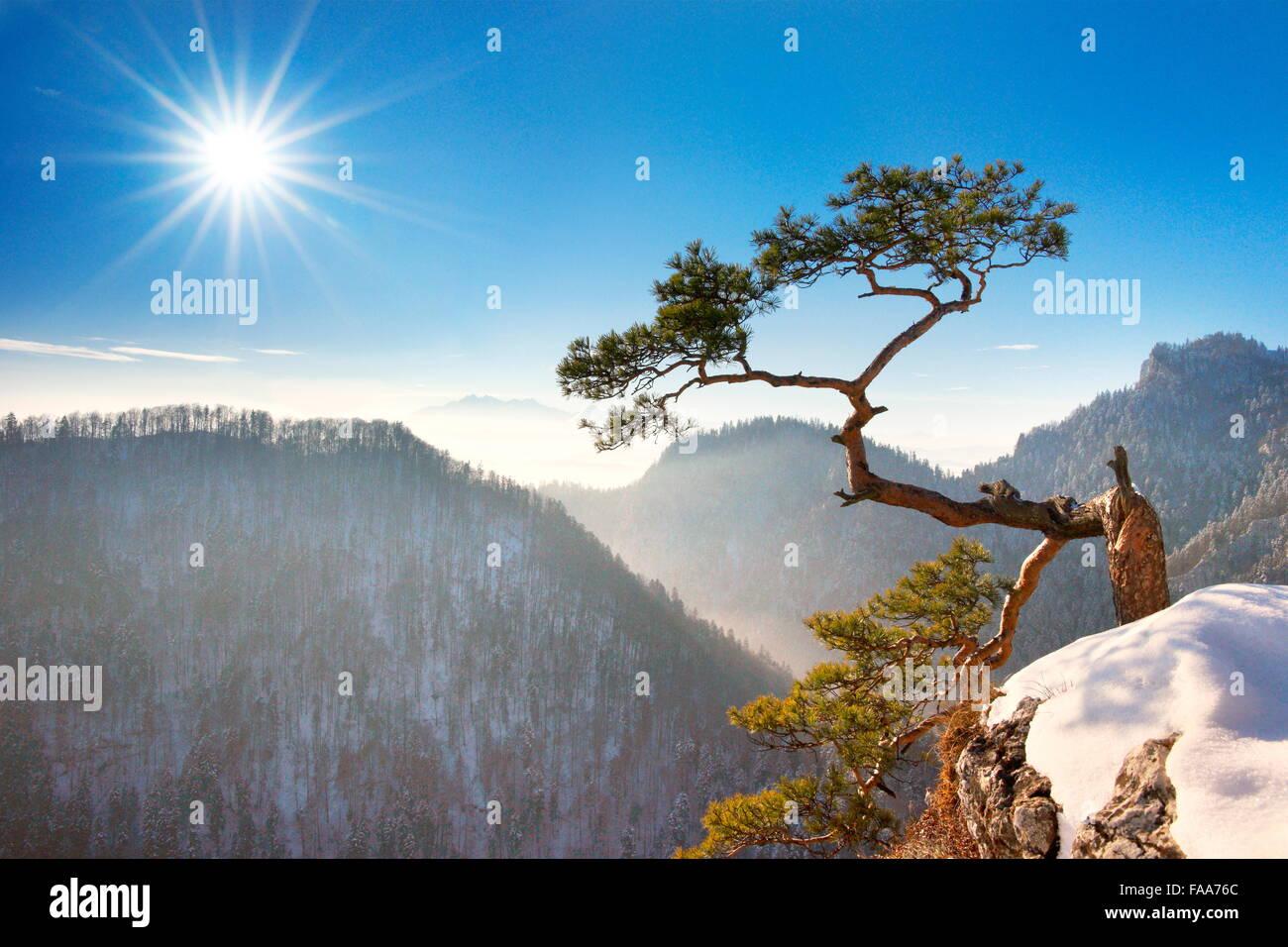 Da solo singolo albero di pino a Sokolica cliff, Pieniny National Park, Polonia Immagini Stock