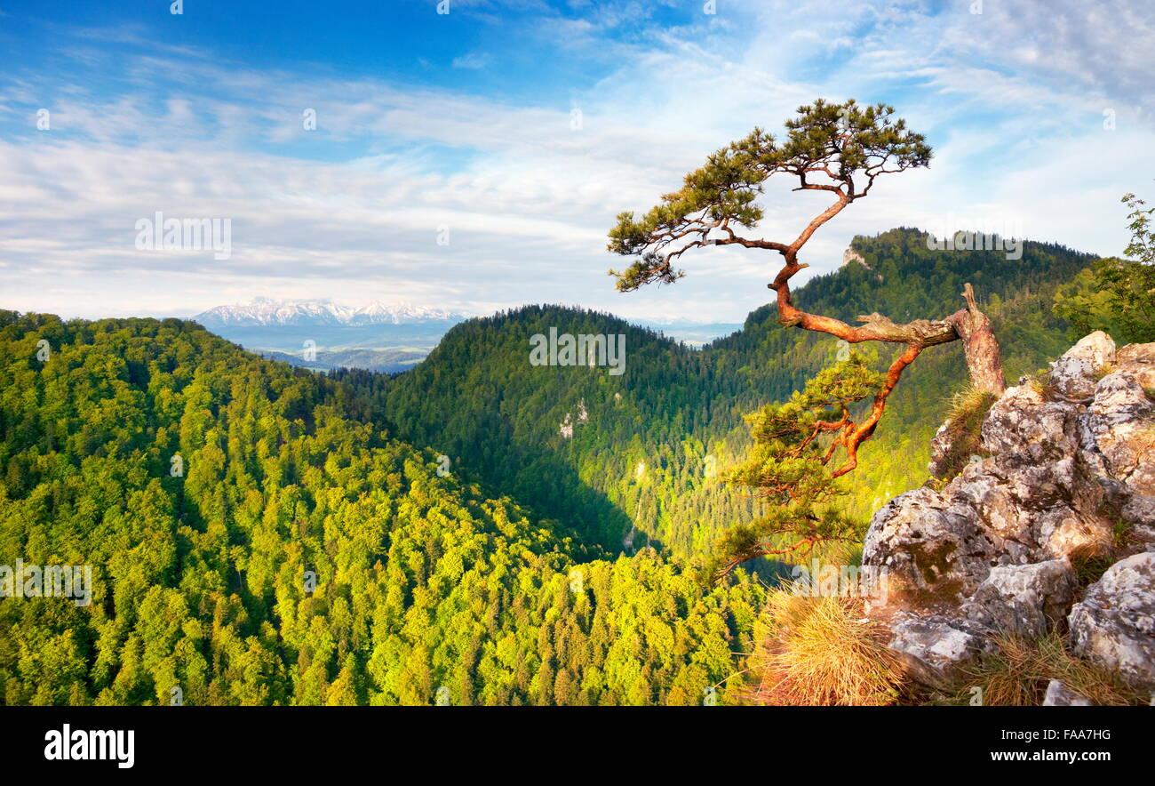 Da solo singolo albero di pino a Nazionale Pieniny Mountains Park, Polonia Immagini Stock