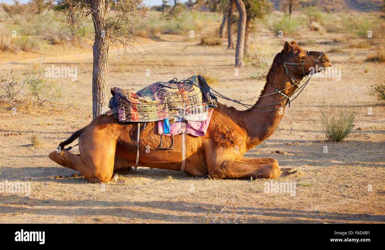 Cammello nel deserto del Thar vicino a Jaisalmer, Rajasthan, India Immagini Stock