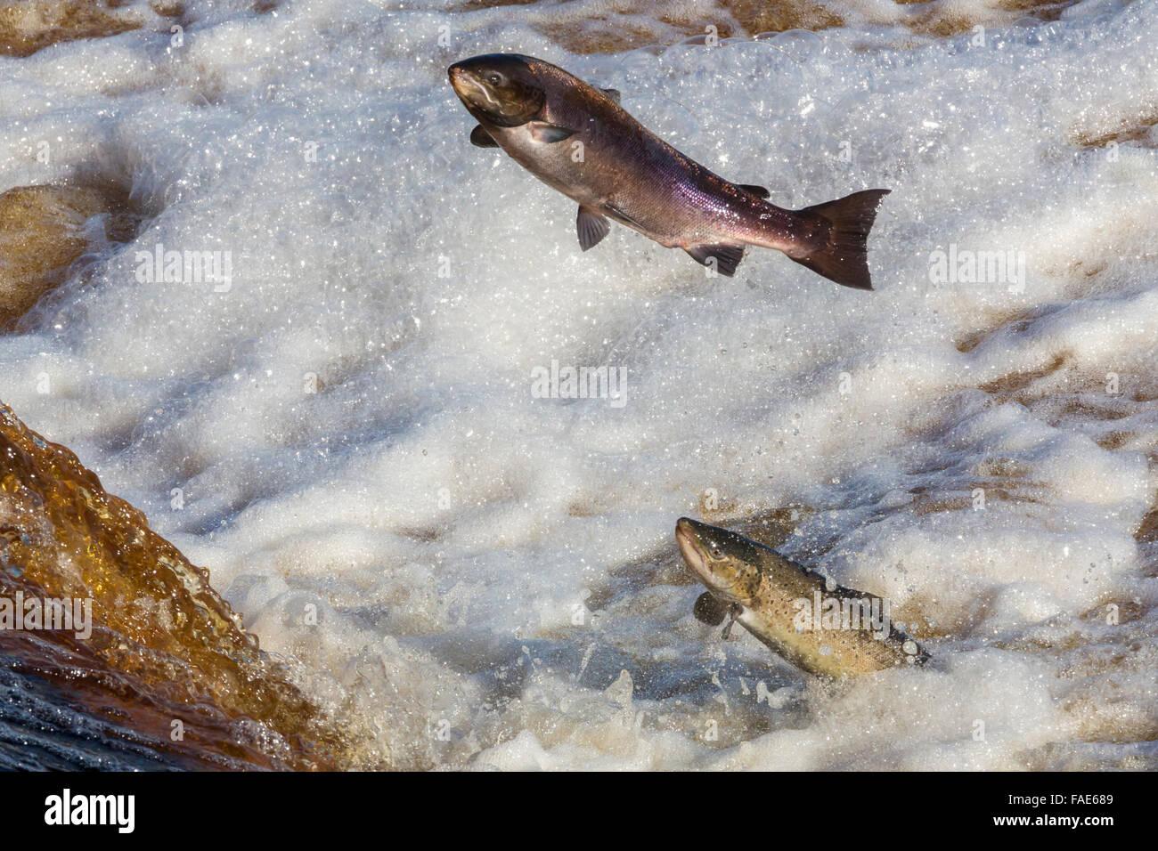 Salmone atlantico (Salmo salar) salta sulla migrazione a monte, sul fiume Tyne, Hexham, Northumberland, Regno Unito Immagini Stock