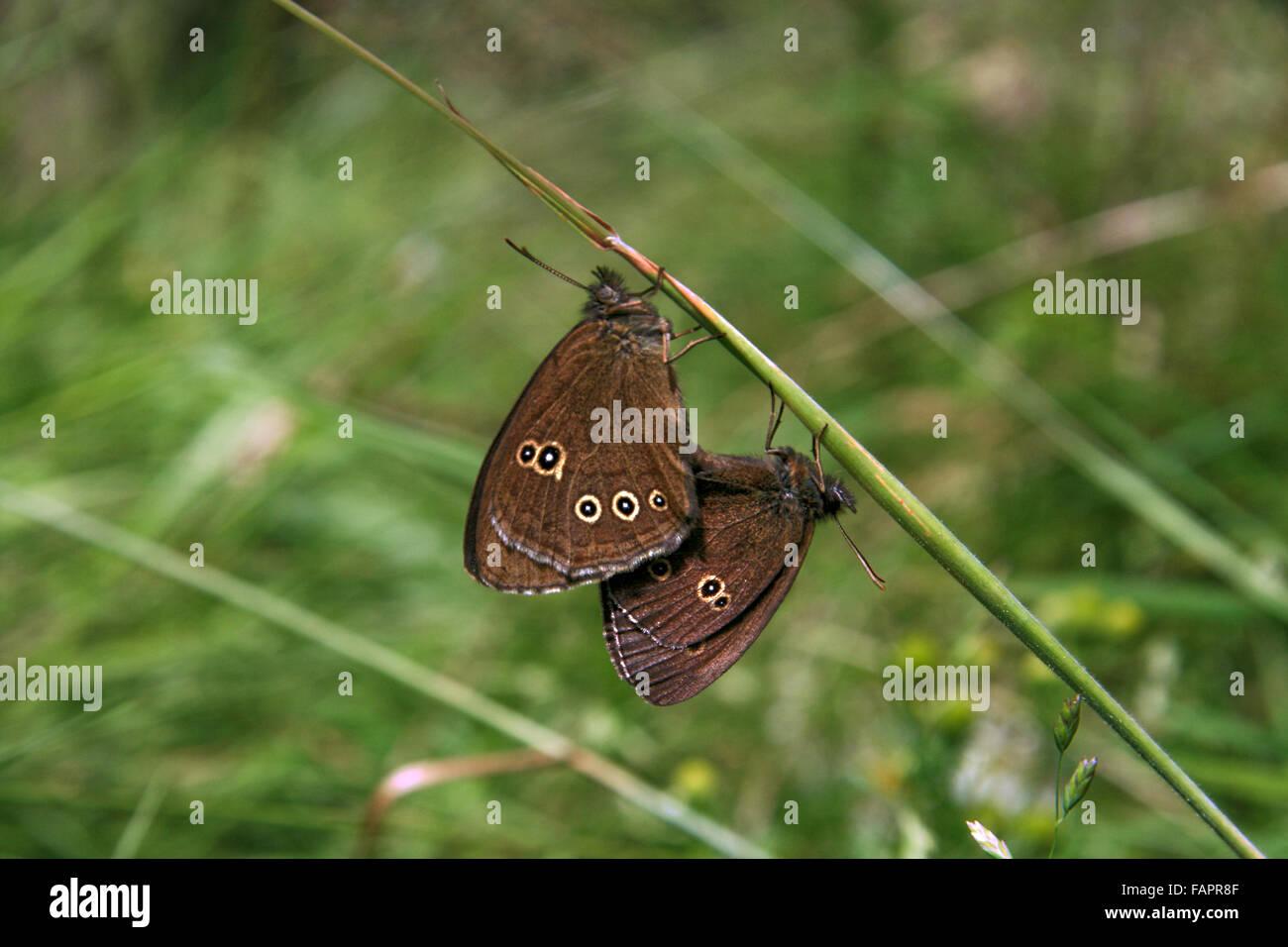 Coppia di Ringlet farfalle Aphantopus hyperantus coniugate in un prato di Cheshire Immagini Stock