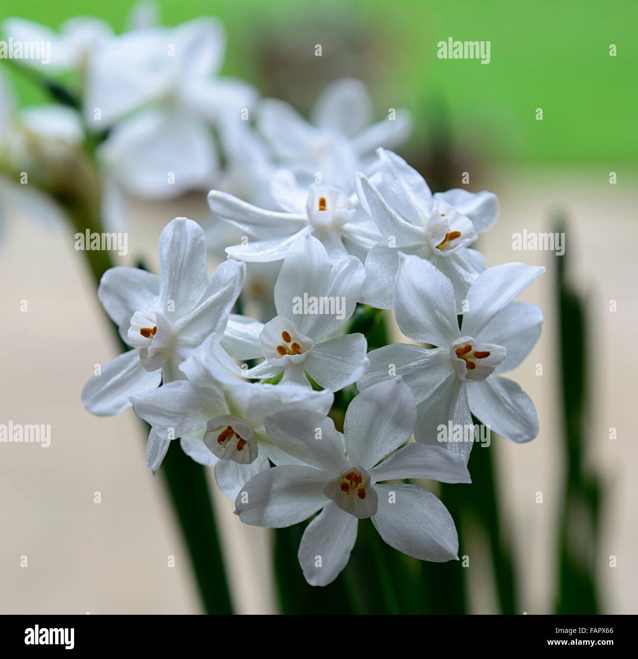 Narcissus ziva paperwhites piante fiori bianchi fioritura di bulbi di fiori  profumati di primavera fragrante narcisi paperwhite floreale RM