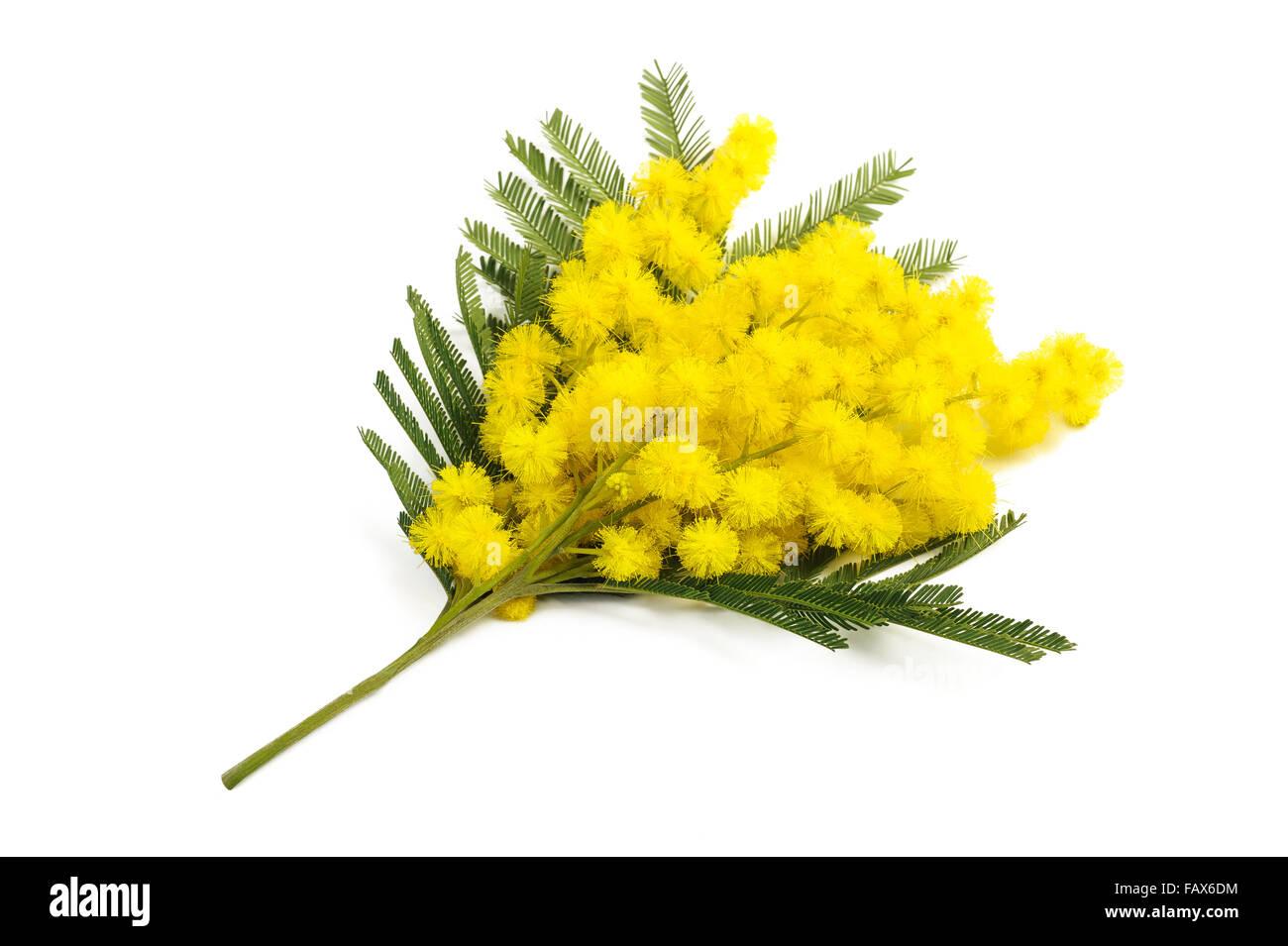 La Mimosa (argento graticcio) ramo isolato su sfondo bianco. Immagini Stock ab6860c20191