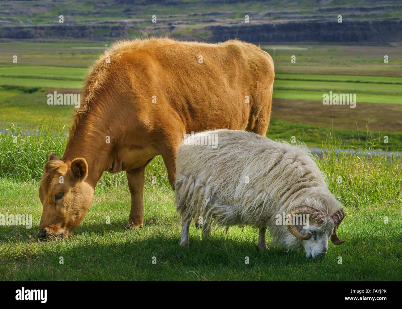Giovane vacca e pecora sono libere di spostarsi e di pascolare su erba, hraunsnef farm, nordurardalur valley, Islanda Immagini Stock