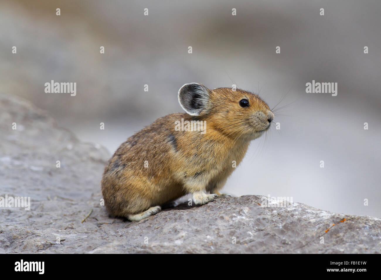 American pika (Ochotona princeps) nativa per le regioni alpine di Canada e Stati Uniti occidentali, prime vittime Immagini Stock