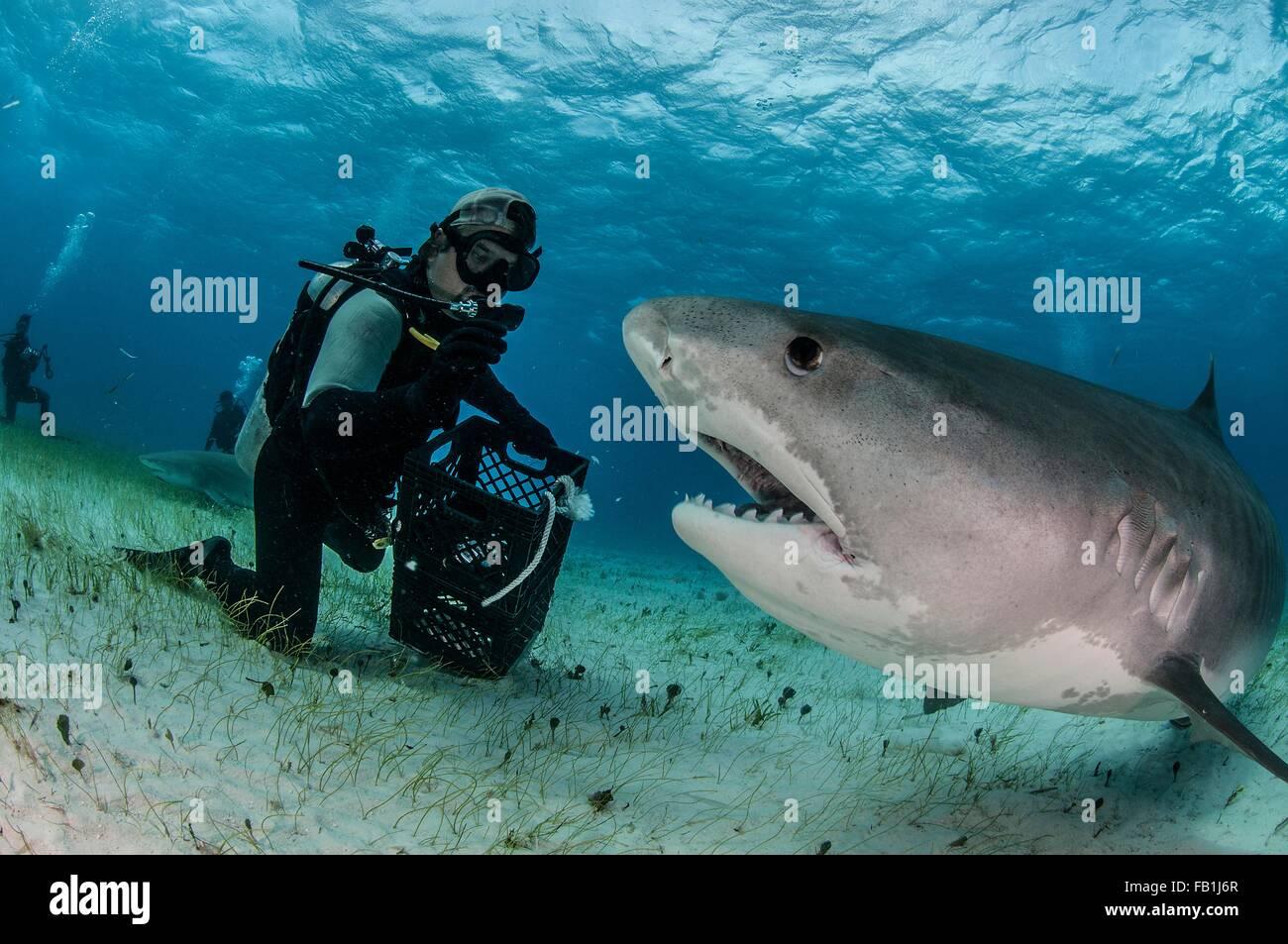 Vista subacquea di scuba diver al fondale marino alimentazione squalo tigre, Tiger Beach, Bahamas Immagini Stock