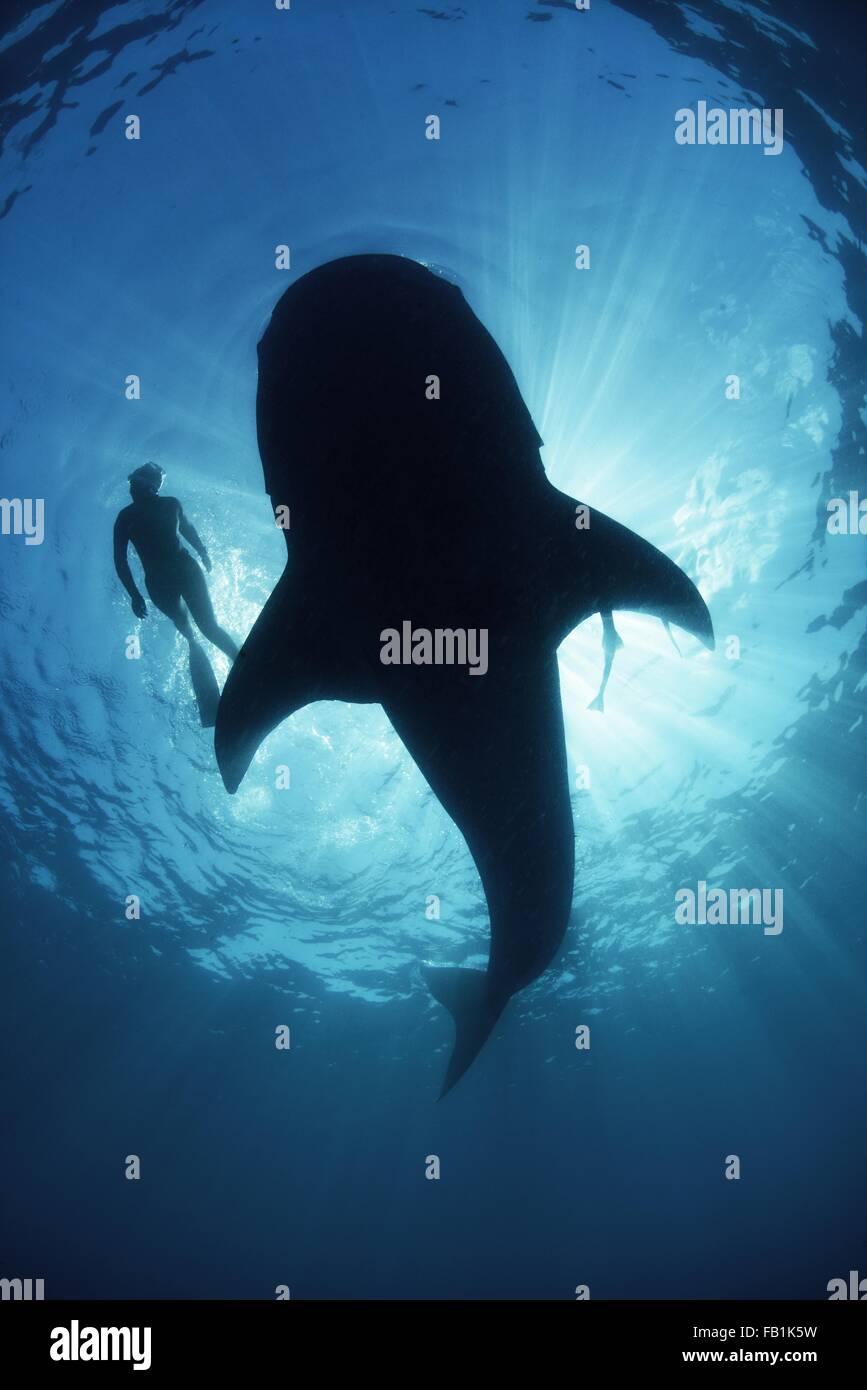 Vista subacquea da sotto un incurante di squalo balena di scuba diver nuoto a fianco, retroilluminato, Isla Mujeres, Immagini Stock