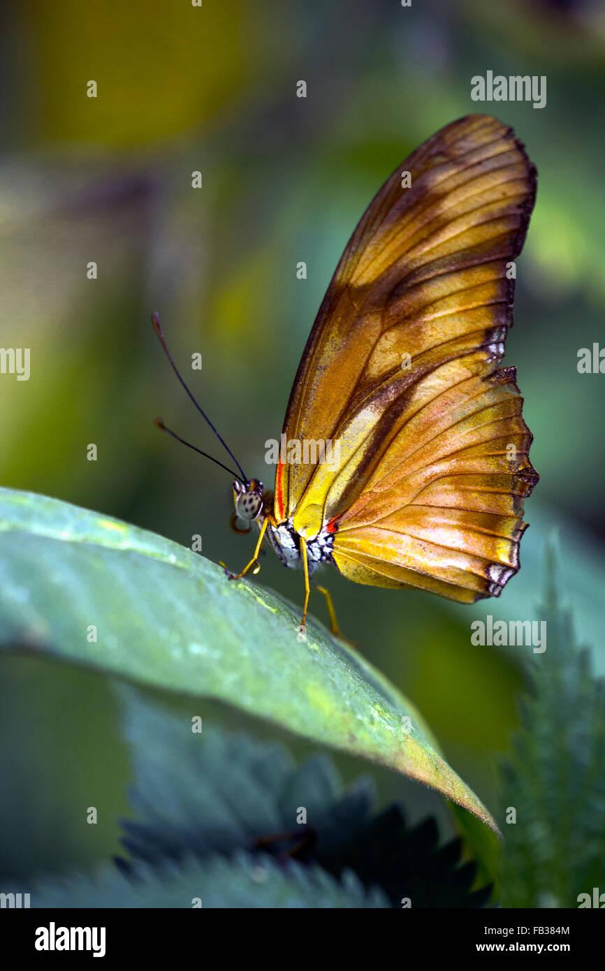 Julia heliconian (Dryas iulia, Dryas julia) farfalla Immagini Stock