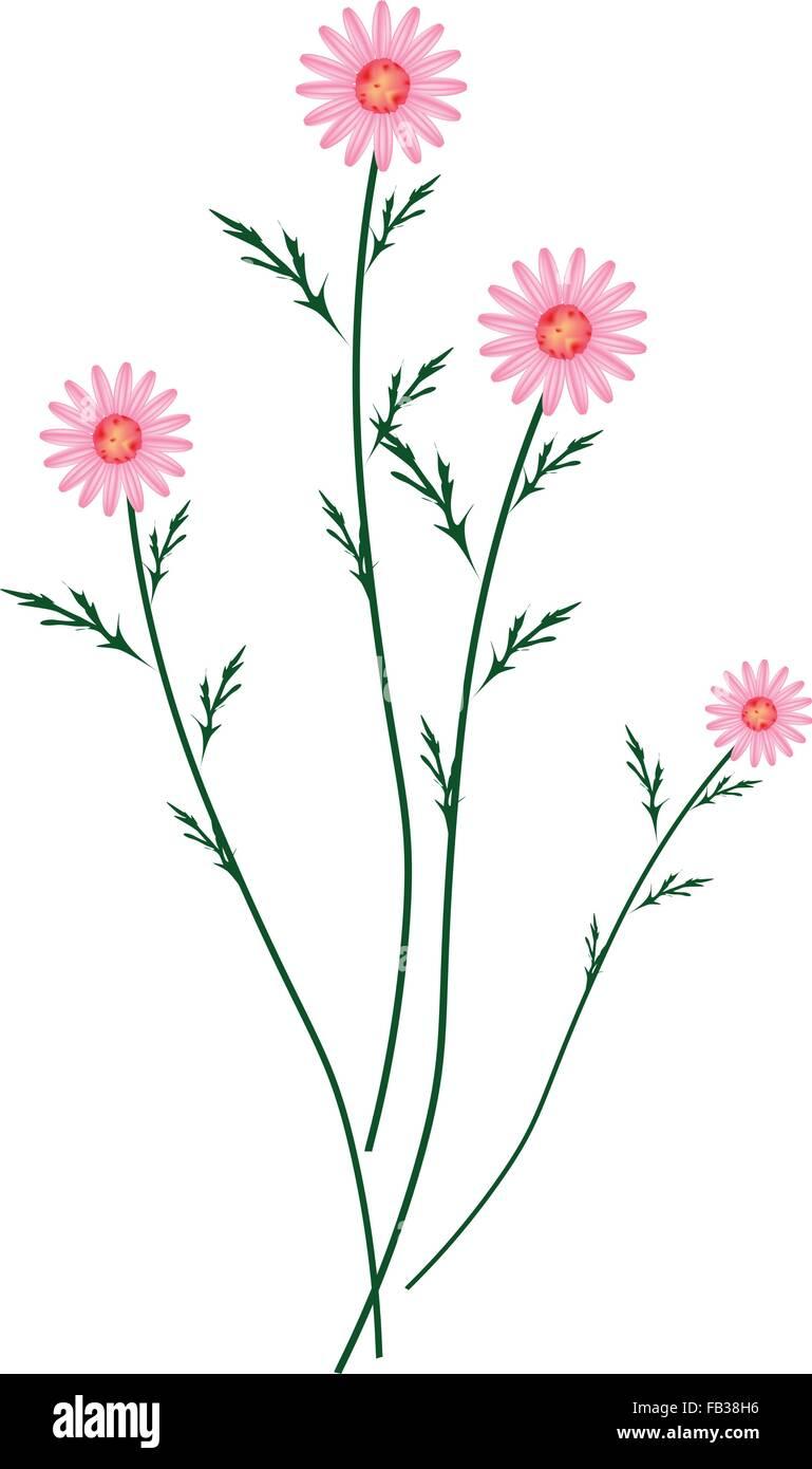 Simbolo Di Amore Luminoso E Bello Rosa Antico Osteospermum Daisy