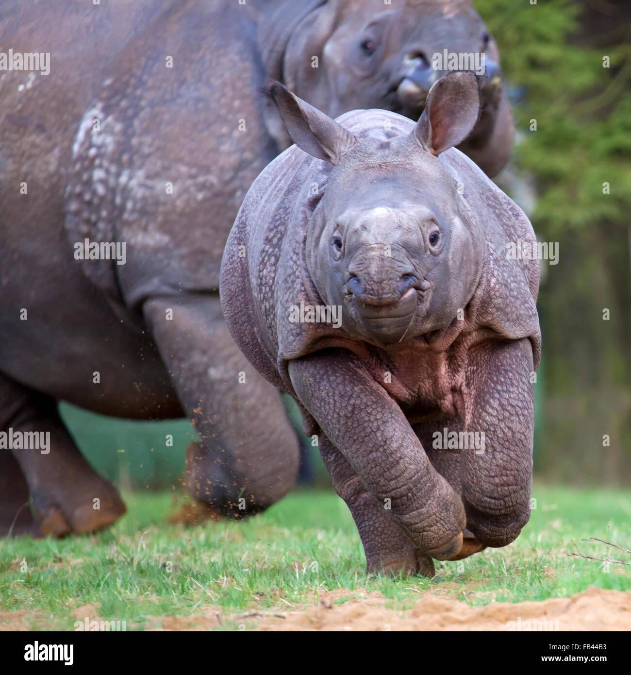 Un giovane il rinoceronte indiano di vitello con sua madre Immagini Stock
