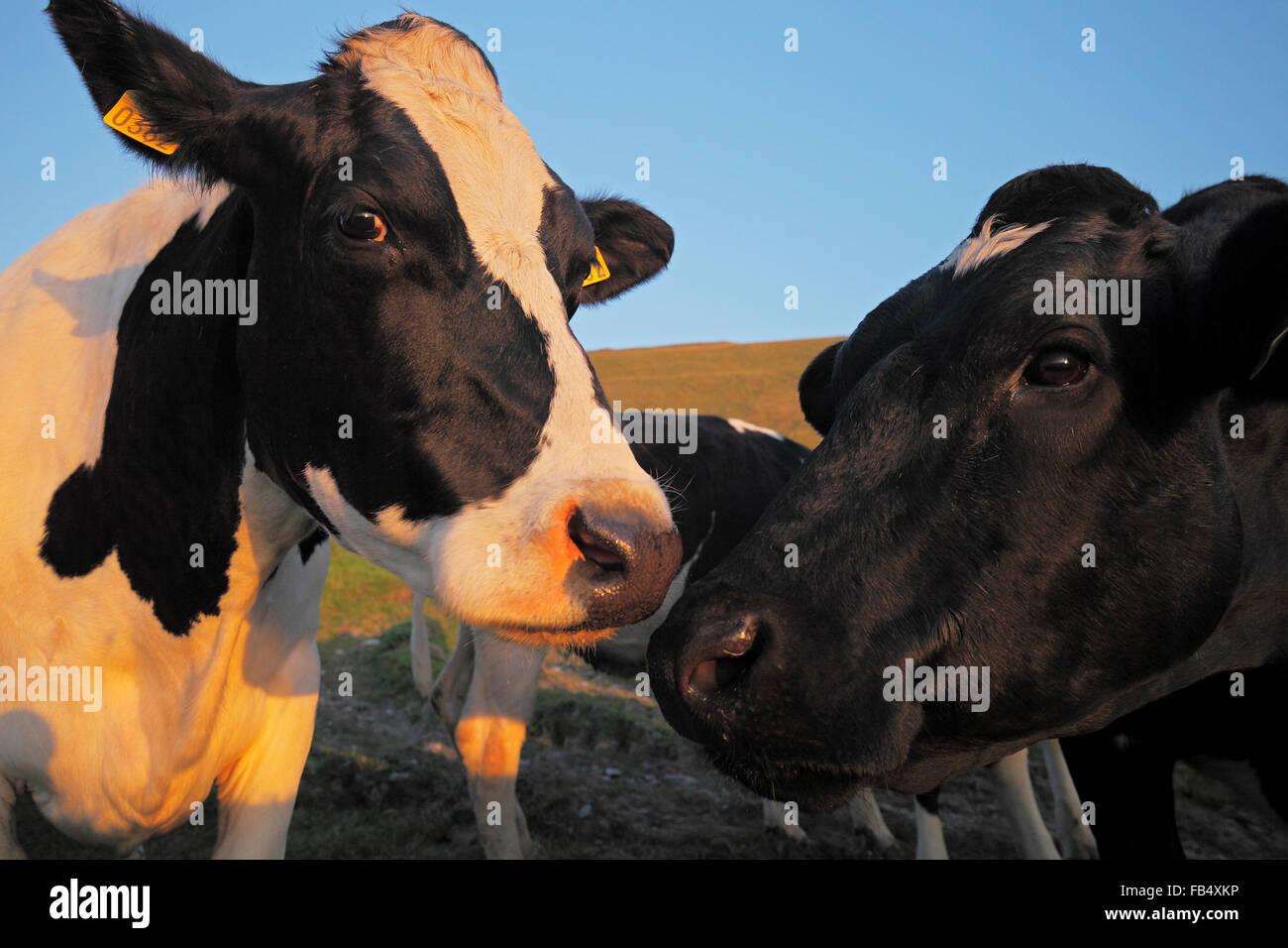 Bovini di razza Holstein - bianco e nero patchato vacche (Bos taurus) Immagini Stock