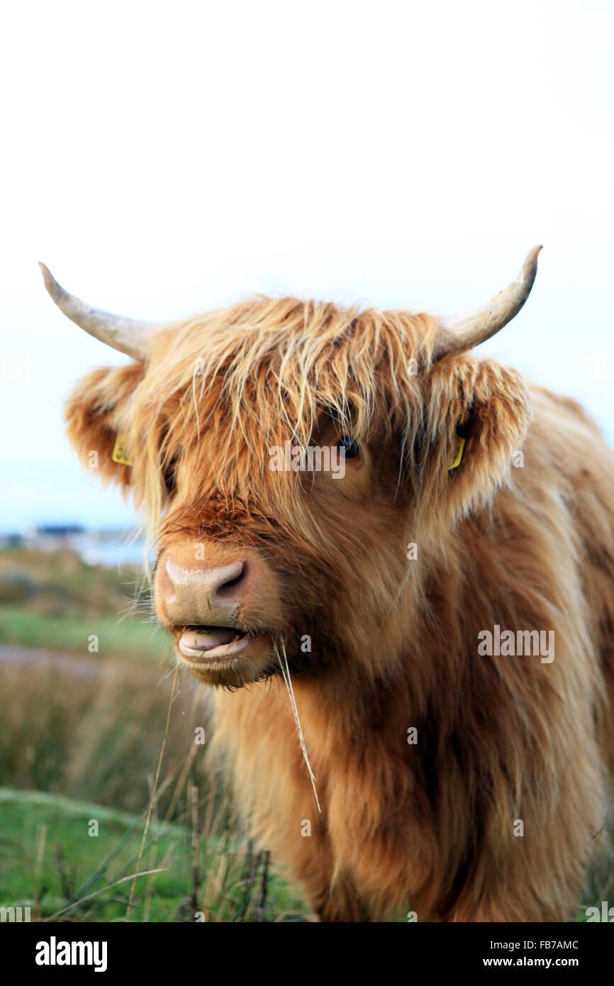 Highland mucca masticare lame di erba in Fionnphort sull'Isle of Mull nelle Ebridi Interne di Scozia Immagini Stock