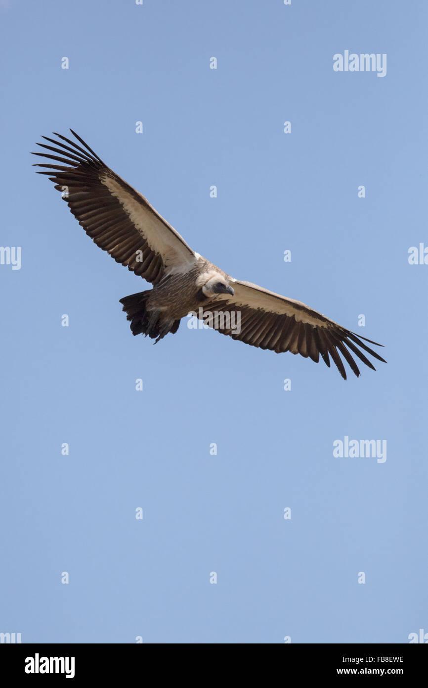 Un avvoltoio in Zimbabwe Immagini Stock