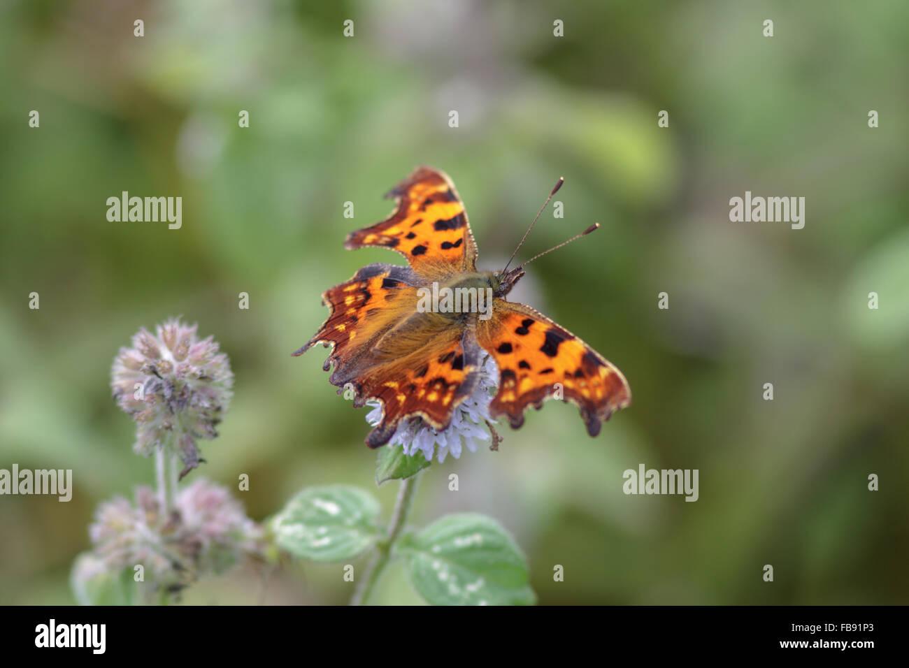 Virgola butterfly arroccato su di un fiore. Immagini Stock