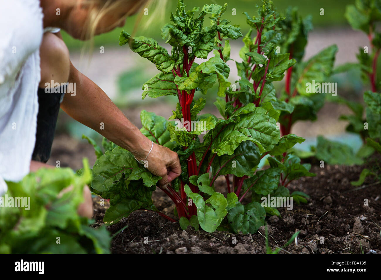 La Svezia Ostergotland, donna matura la raccolta degli ortaggi Immagini Stock