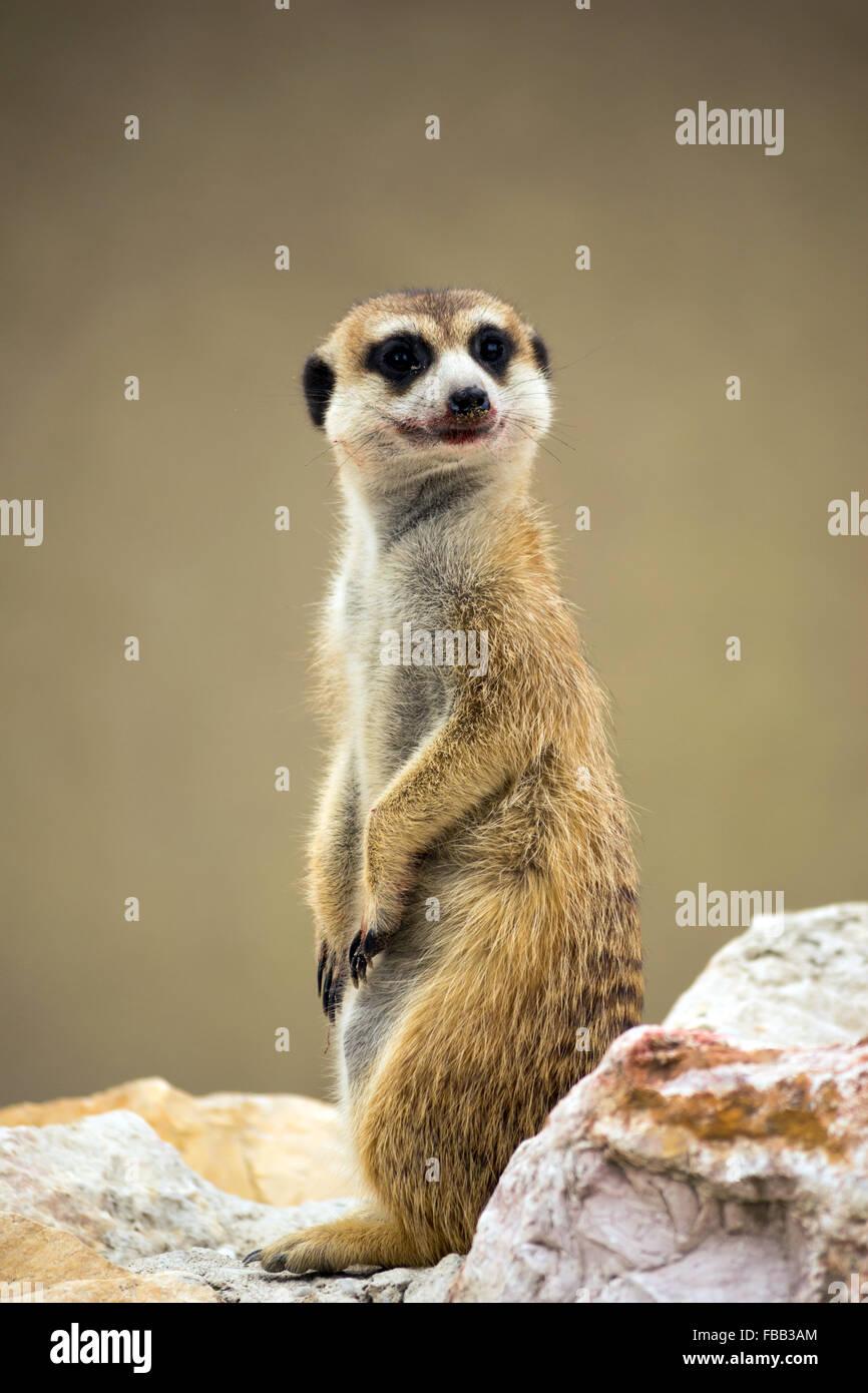 Meerkat (Suricata suricatta) con sanguinosa sorriso Immagini Stock