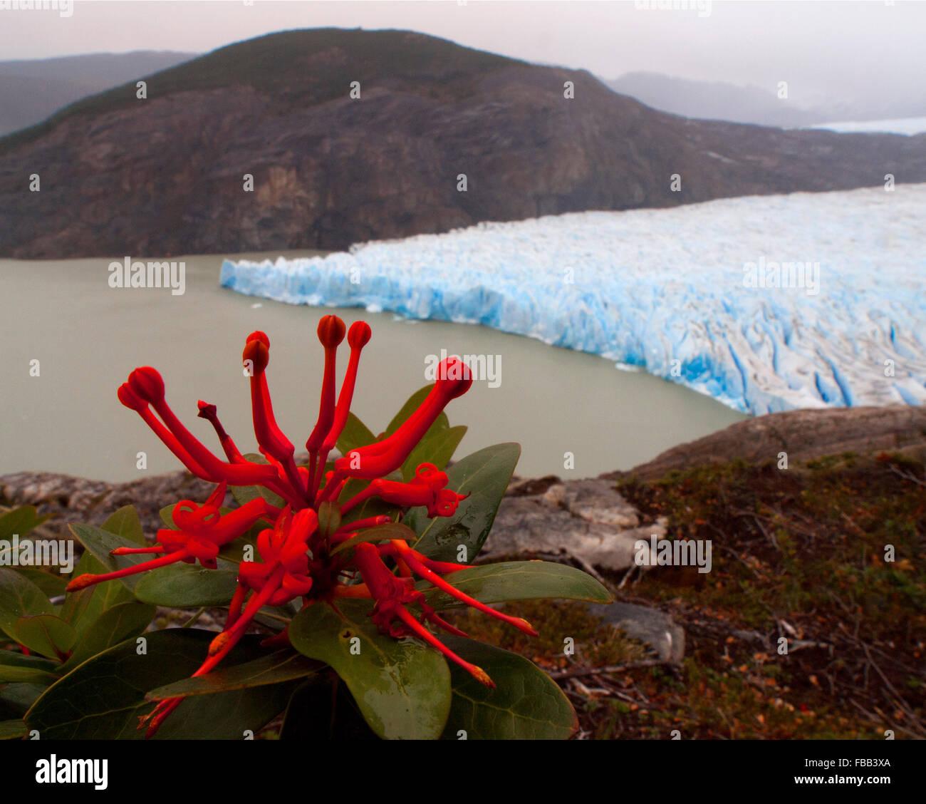 Incendio cileno bush (Embothrium coccineum) e Grigio ghiaccio, Torres del Paine, Patagonia Immagini Stock