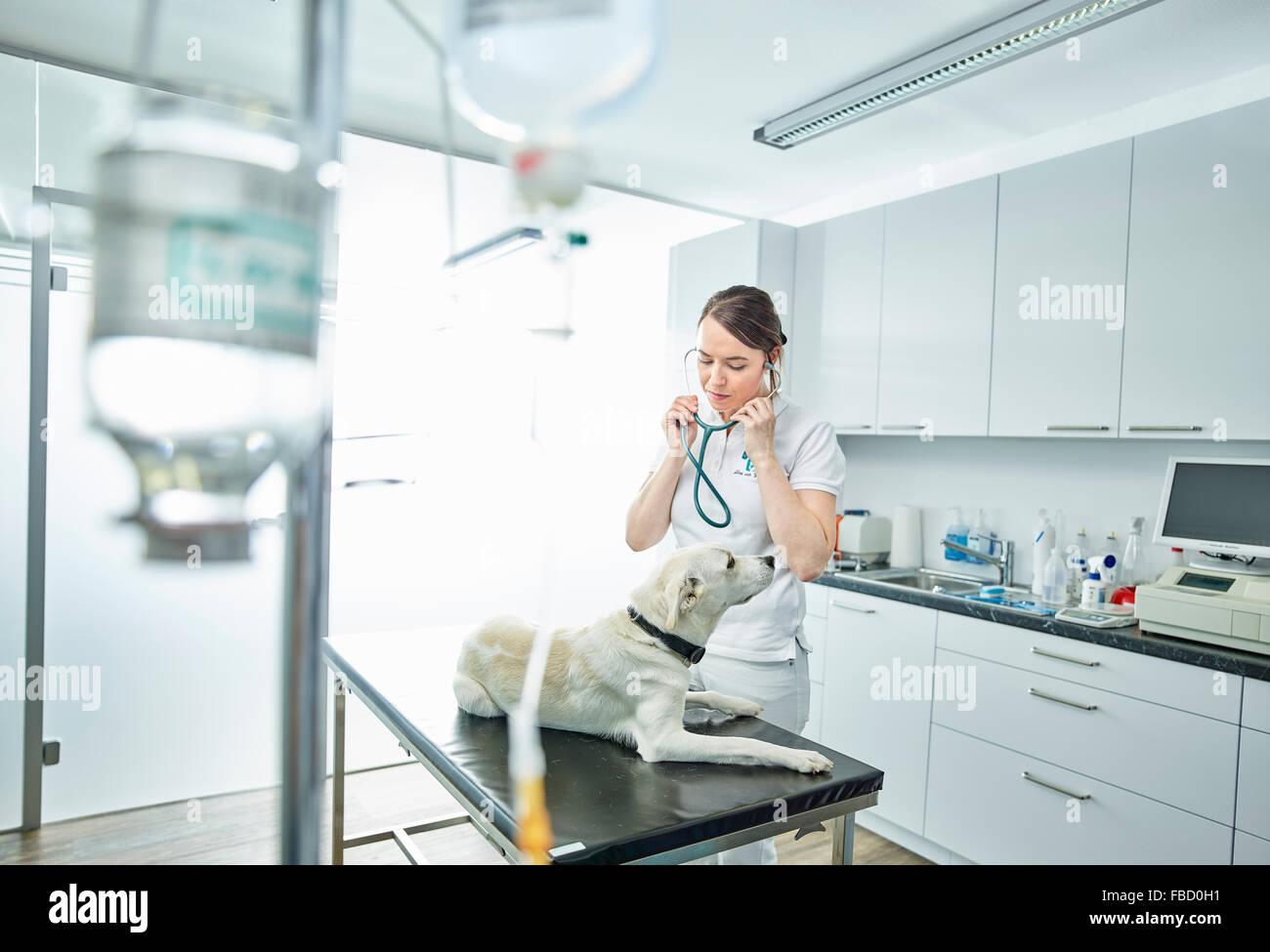 Vet esaminando cane nella pratica veterinaria, Austria Immagini Stock