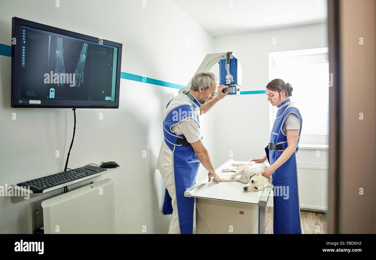 I veterinari esaminando cane nella pratica veterinaria, X-ray, Austria Immagini Stock