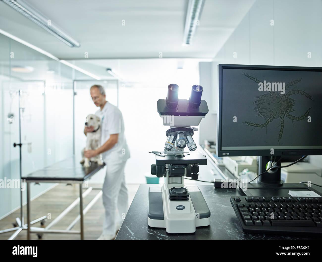 Microscopio nella pratica veterinaria, microscopici allargamento dell acaro sulla schermata monitor, vet esaminando Immagini Stock