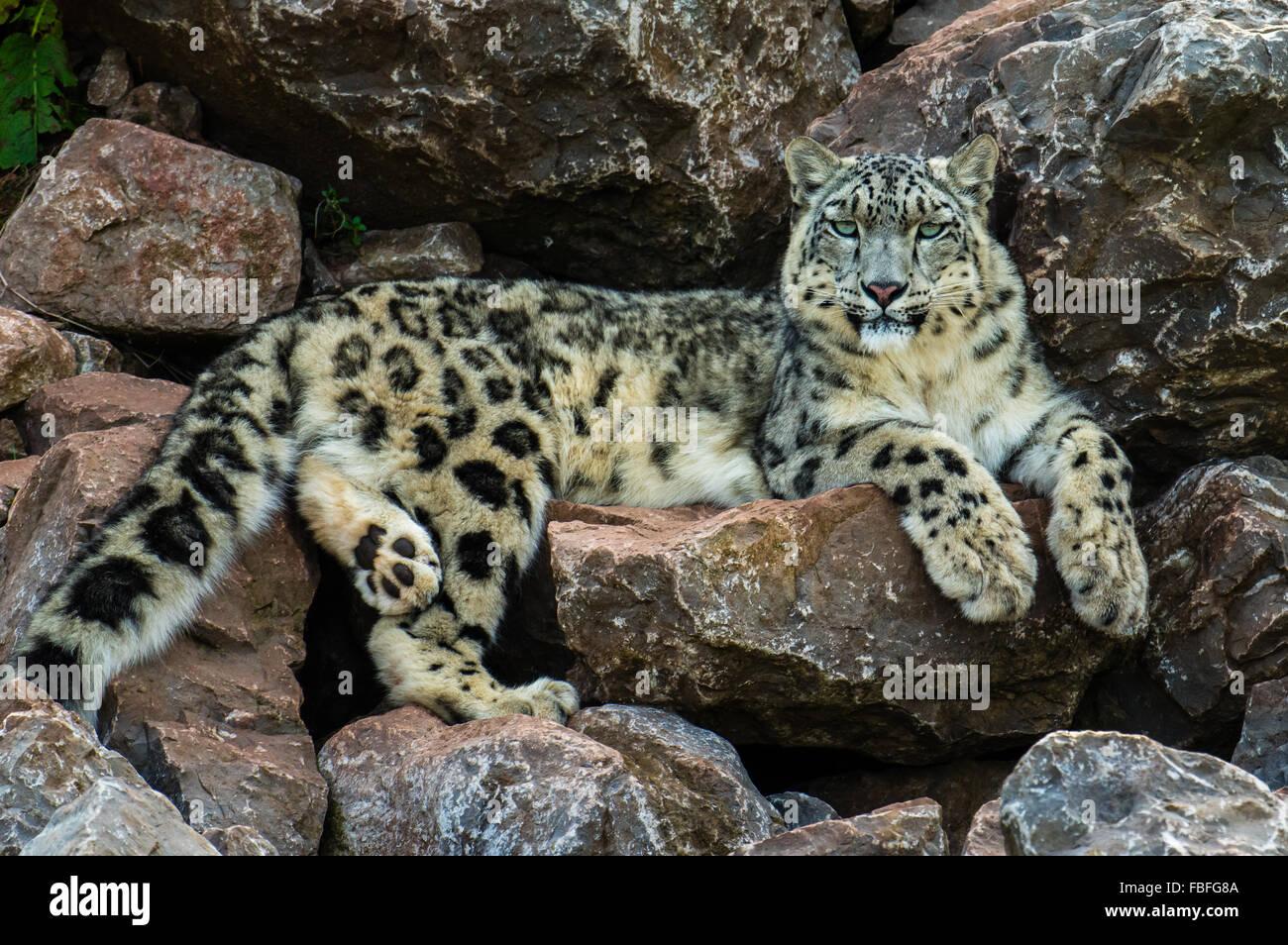Snow Leopard (Uncia uncia) Immagini Stock