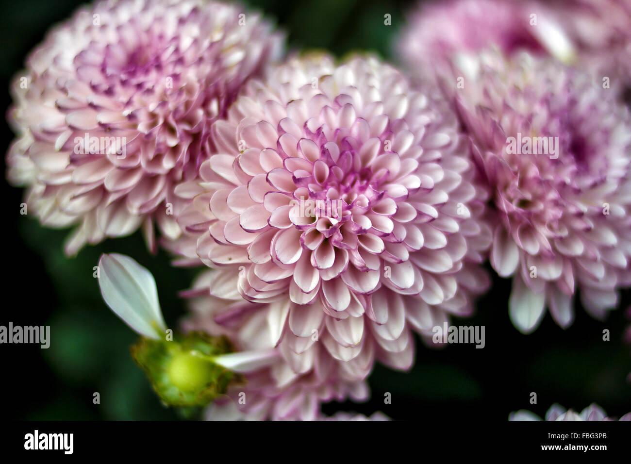 Pink Dahlia Josie Gott Immagini Stock