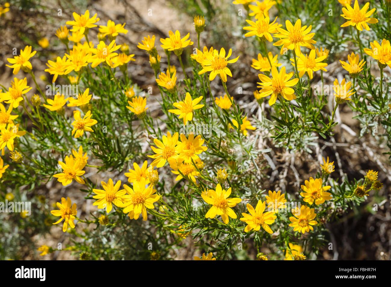 Cespuglio Con Fiori Gialli.Un Deserto Arbusto Con Fiori Gialli A Joshua Tree National Park