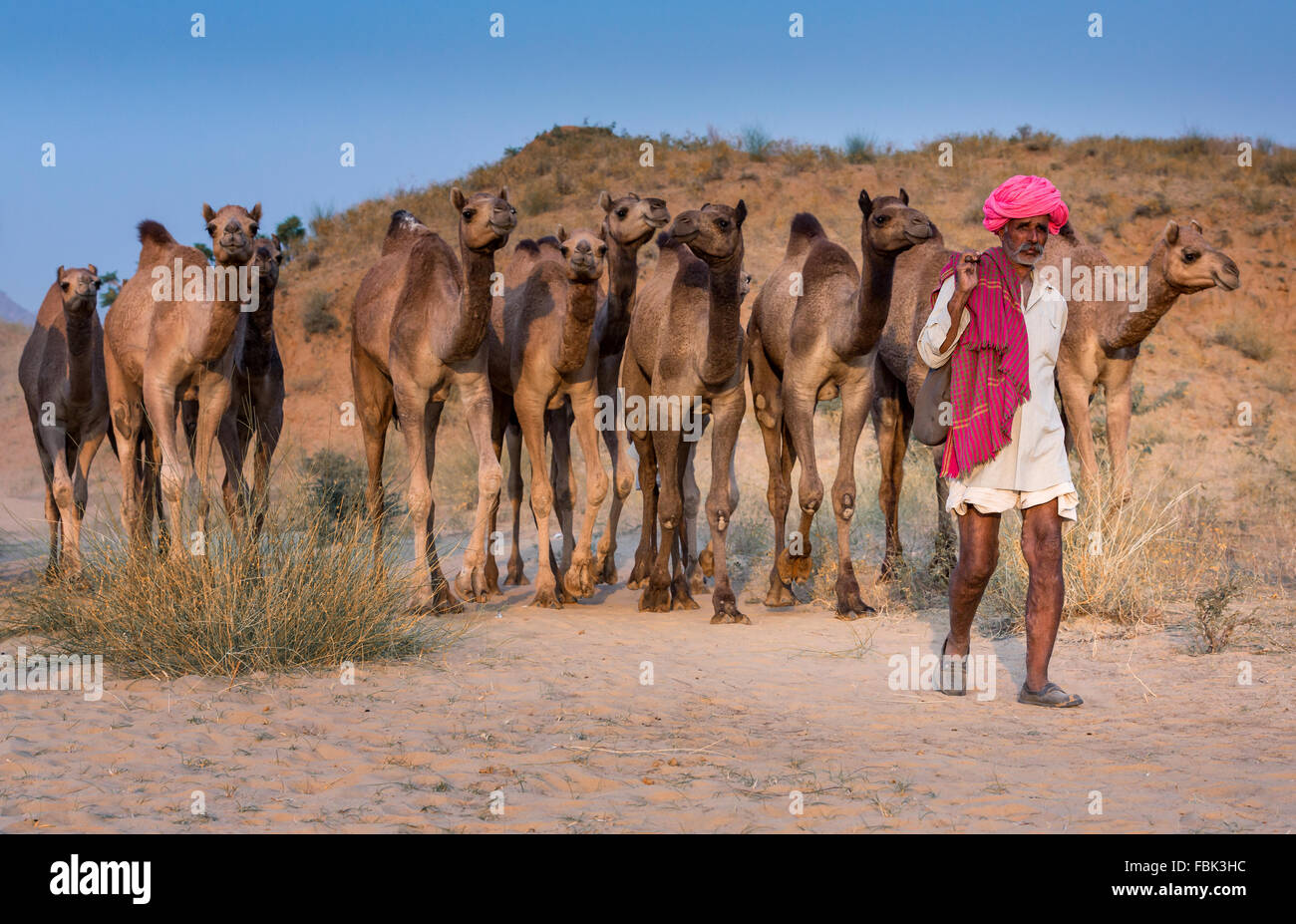 Camel driver con i suoi cammelli sul modo di Pushkar Mela, Pushkar Camel Fair, Rajasthan, India Immagini Stock