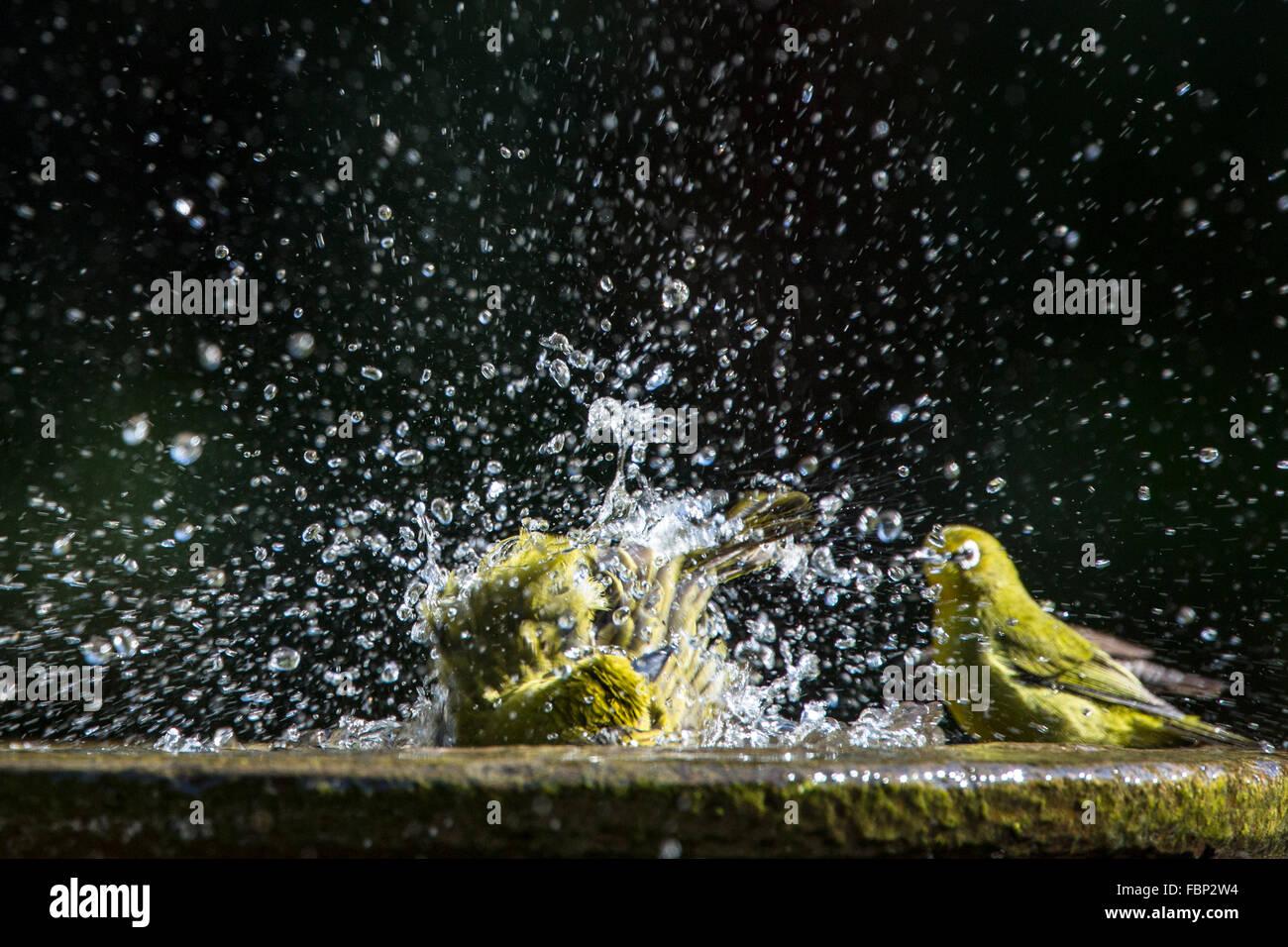 Africa tessitore dorato avente un bagno uccelli con Capo whiteeye cercando su Immagini Stock