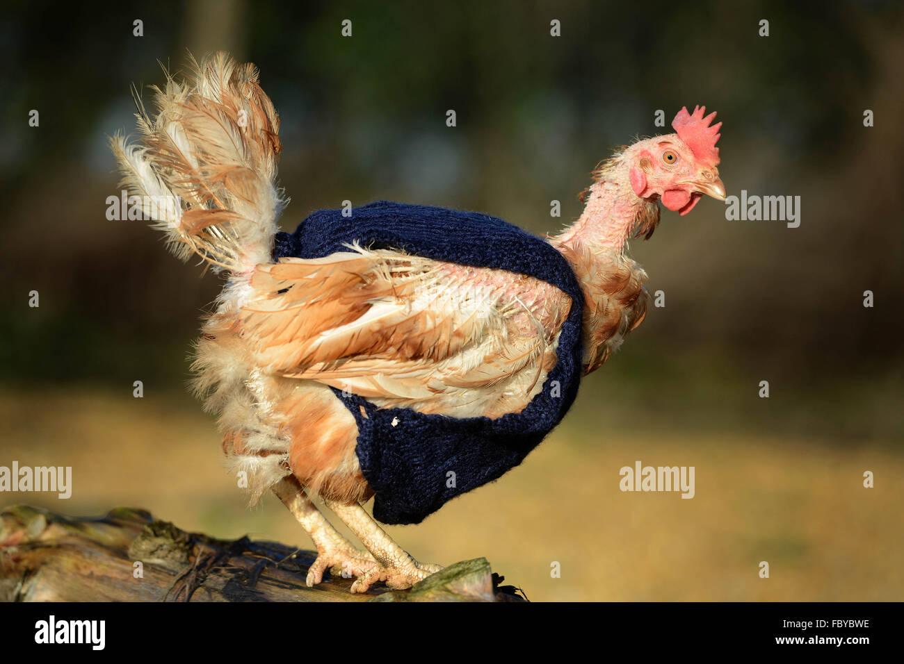 Ex le galline allevate in batteria con maglia ponticelli di lana Immagini Stock